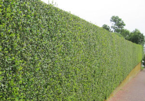 hedge-cutting-maintenance-shepherds-bush