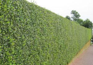 hedge-cutting-maintenance-shepherds-bush